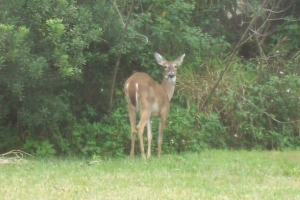 Deer... one of many.