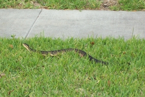 Water Moccossin also known as a \